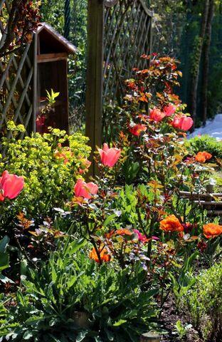 Les tulipes du jardin médiéval (1/2)