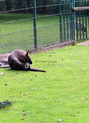Kangourous gris ou Macropus Fuliginosus - Jardin Botanique de Tours (Indre et Loire)