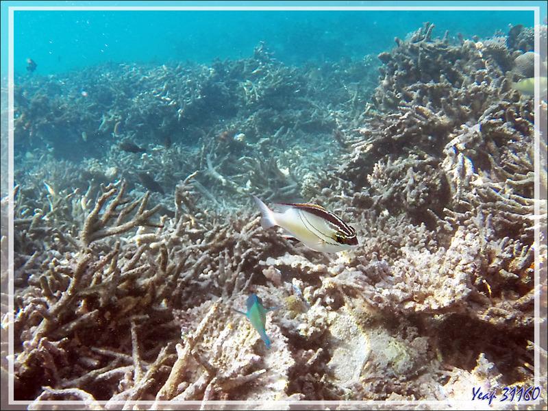 Happeur à deux lignes, Brème de mer à écharpe, Two-lined monocle bream (Scolopsis bilineata) et  Mérou gâteau de cire, Honeycomb grouper (Epinephelus merra) - Moofushi - Atoll d'Ari - Maldives