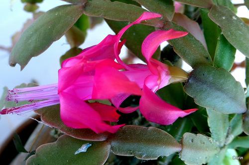 Mon épiphyllum ...