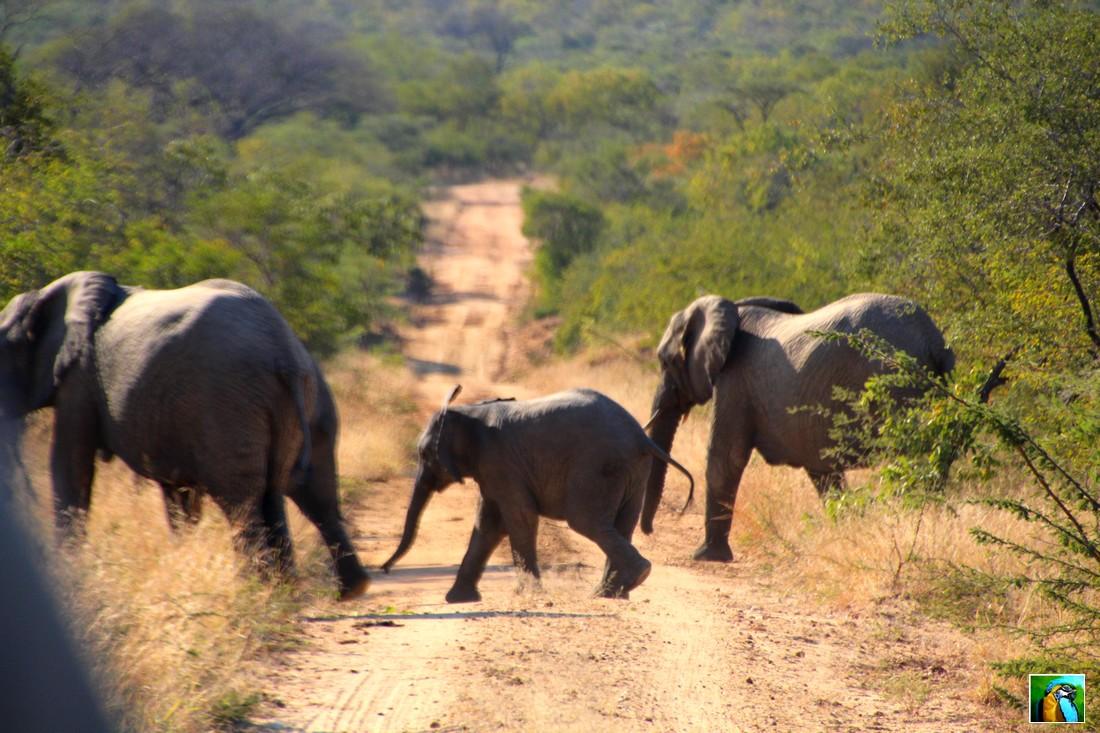 AFRIQUE  DU  SUD début juin 2018 : ELEPHANTS
