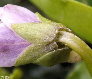 Viola palustris  -  violette des marais
