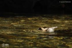 Cincle plongeur 2014