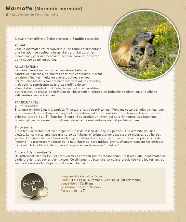 Marmotton bien dodu (Marmota marmota)