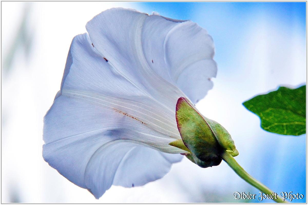 Liseron des Haies (1) - Calystegia sepium