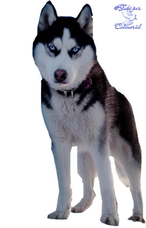 Tubes-Animaux-chiens--husky4