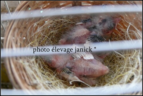 naissances de canari .