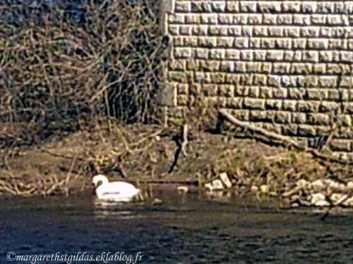 Pauvre cygne - Poor swan