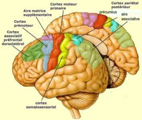 L'évolution du cerveau de l'homme.