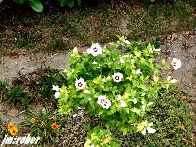 l'hibiscus d'extérieur ou d'intérieur ?