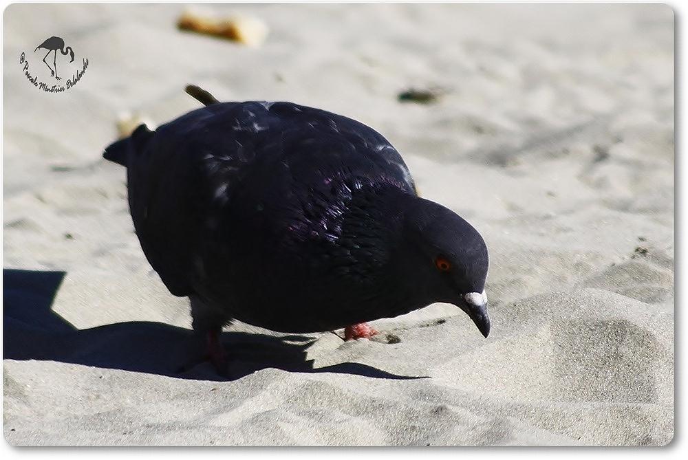 Pigeon Biset...