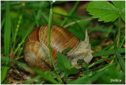L'escargot de Bourgogne