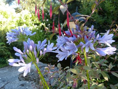 Les agapanthes, fleur de l'été