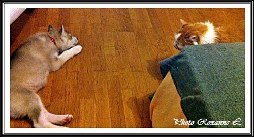 Husky et chats