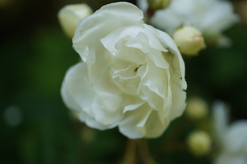Le club des cinq floraisons en blanc de mi-juin