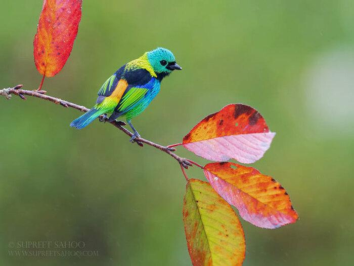 Fascinants Oiseaux de la Forêt Atlantique au Brésil par Supreet Sahoo