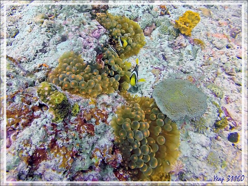 Anémone à bouts renflés, à tétines, Anémone-bulle, Bulb-tentacle sea anemone (Entacmaea quadricolor) et Poisson-clown de Madagascar - Spot Moofushi Kandu - Moofushi - Atoll d'Ari - Maldives