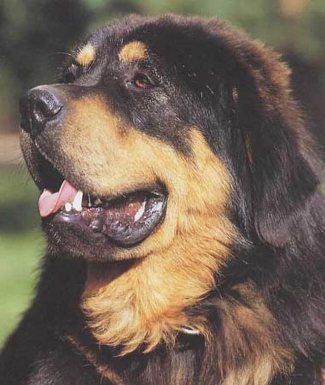 Races de chiens:  Dogue du Tibet