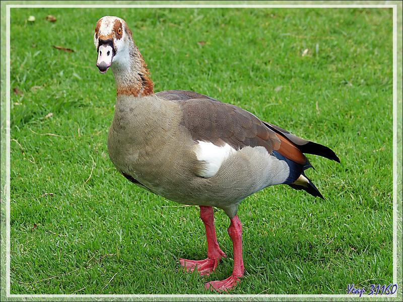 Ouette d'Égypte, Egyptian Goose (Alopochen aegyptiaca) - Jardin de Kirstenbosch - Cape Town - Afrique du Sud