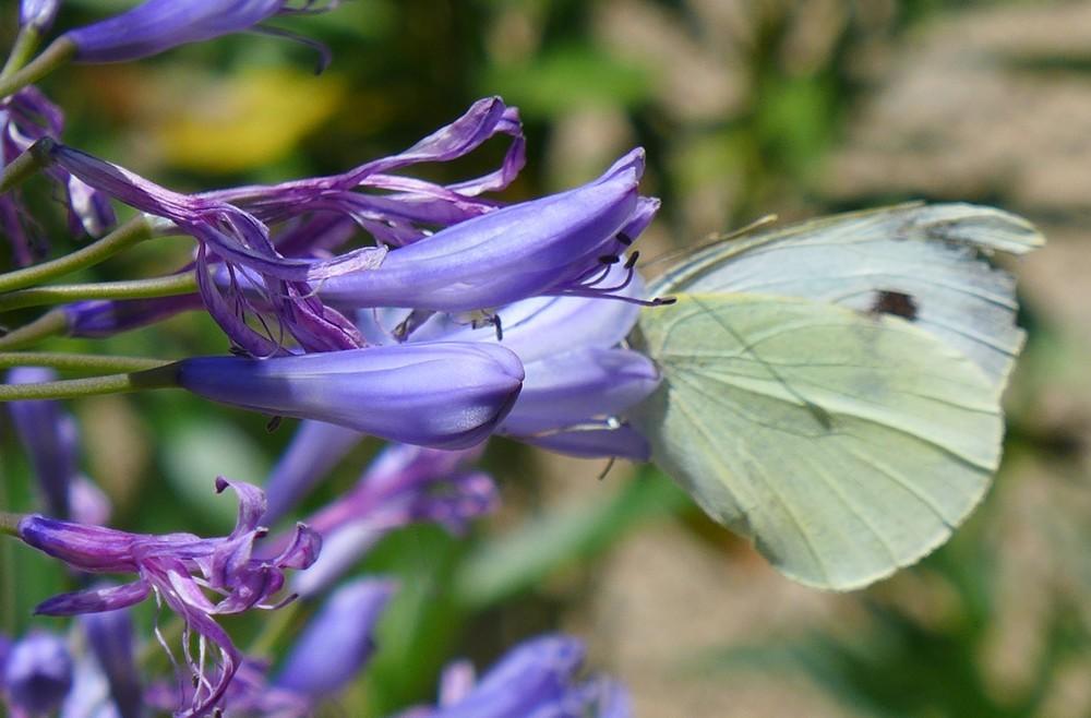 Un papillon blanc très gourmand...