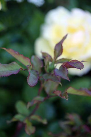 Roseraie - Juin (1/4)