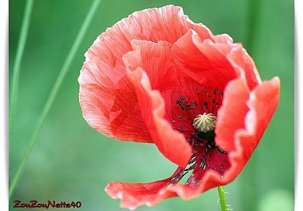 COQUELICOT-N--2-.jpg