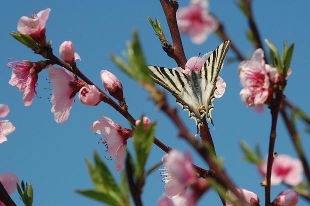 fleurs-peche-et-papillon-m