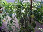 Tomate im Herbstlicht