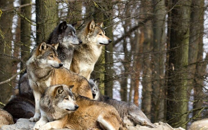 Ces Loups Qui N'ont Plus Peur De L'homme
