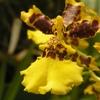 Orchidée - Sri Lanka