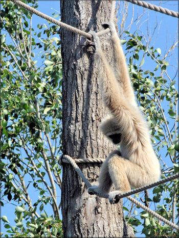 Photo de gibbon lar (Zoo du bassin d'Arcachon)