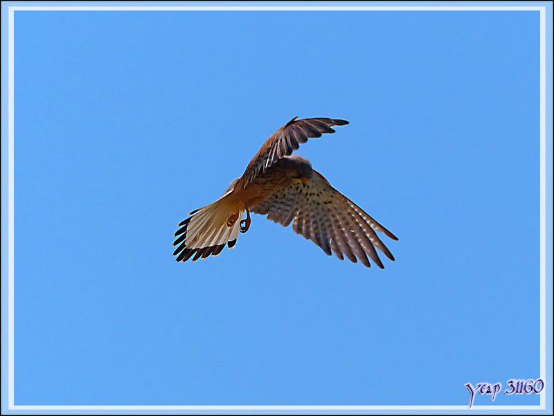 """Animation gif : Faucon crécerelle en """"vol du Saint-Esprit"""", Common Kestrel (Falco tinnunculus) - La Couarde-sur-Mer - Ile de Ré - 17"""