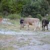 3éme jour Réserve SCANDOLA 2014 Mai sur la route du retour les vaches