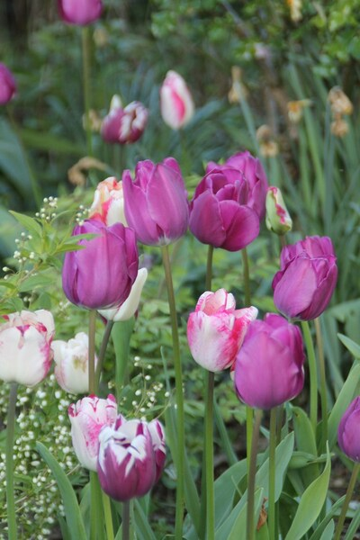 Tulipes 2017