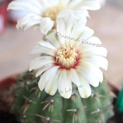 Gymnocalycium Platense - Les fleurs