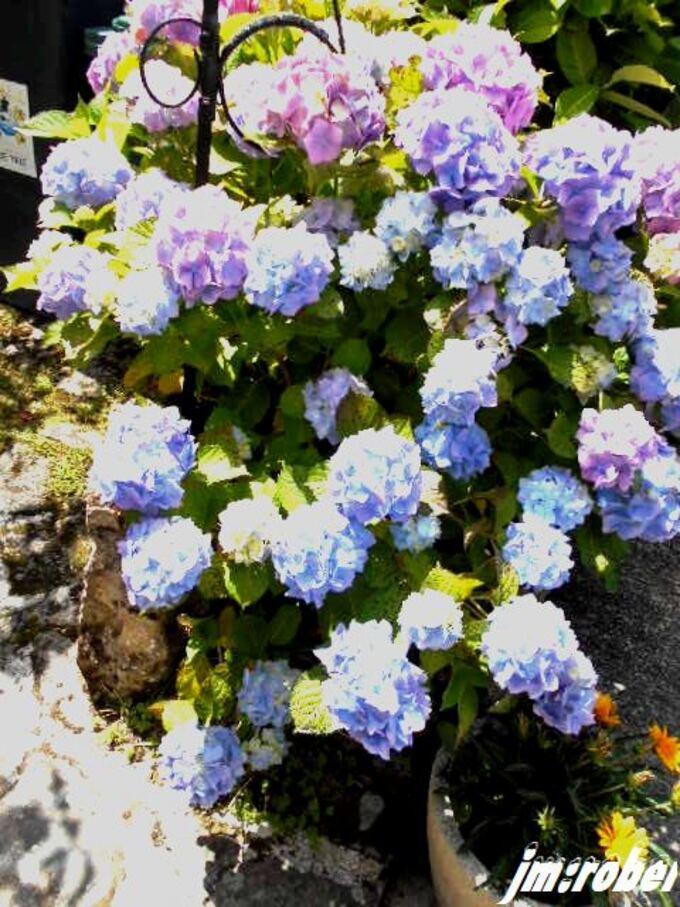 Cette fleur de l'été breton par exellence venue en limousin