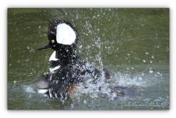 Harle couronné - Parc des Oiseaux