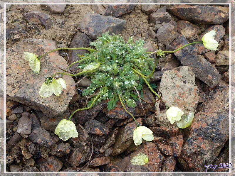 Pavot arctique (Papaver radicatum)  - Beechey Island (Péninsule de Devon Island) - Nunavut - Canada