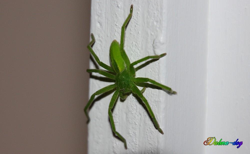 araignée verte fluo