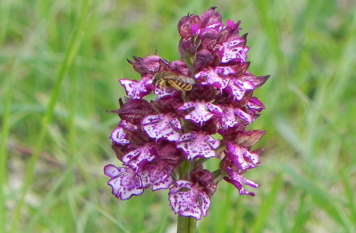 L'orchidée sauvage : orchis purpurea (orchis pourpre)