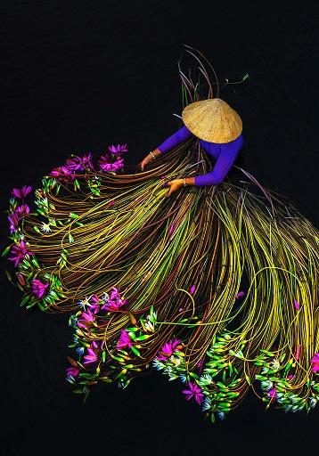La récolte des lotus ...