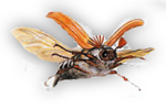 Sankthansoldenborre,Guniak czerwczyk, Melolontha melolontha, Pingborre,Ollonborre ,hannetons Saint Jean, coléoptères , Nimy Mons