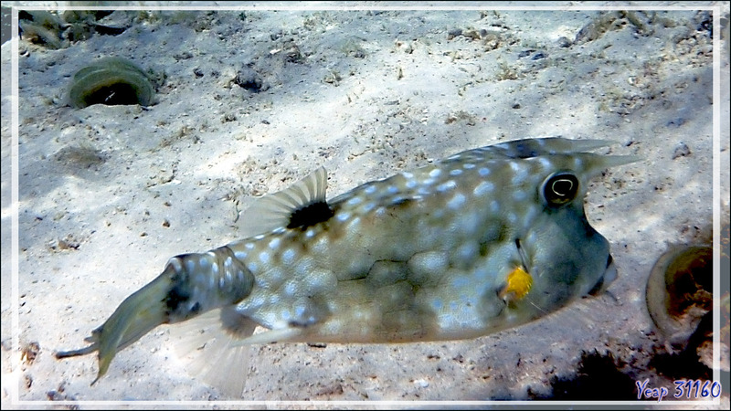 Poisson vache à longues cornes ou cornu, Longhorn cowfish (Lactoria cornuta) - Moorea - Polynésie française