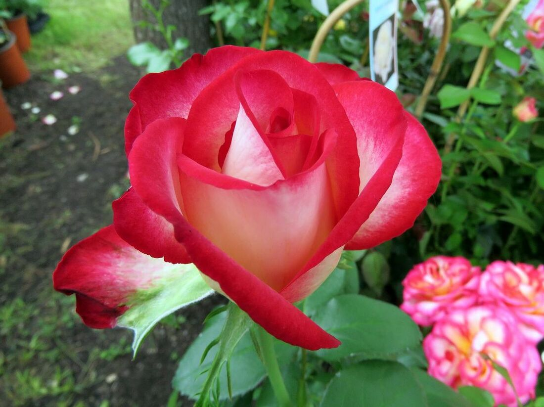 des fleurs à Arnaga (64)