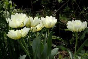 Tulipes Exotic Emperor6