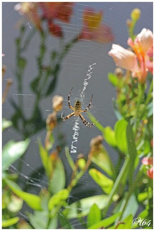 Araignée : Argiope