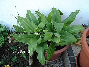 ananas2011 06