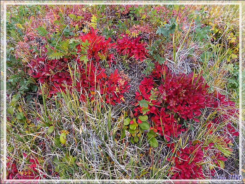 Beau massif composé de plantes indéterminées... - Edinburgh Island - Nunavut - Canada