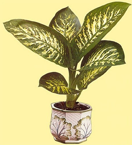 dieffenbachia.picta