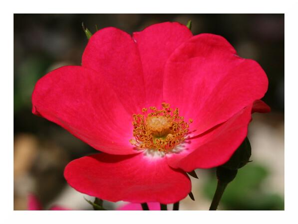 Quelques fleurs présentes au Jardin des Plantes du Mans